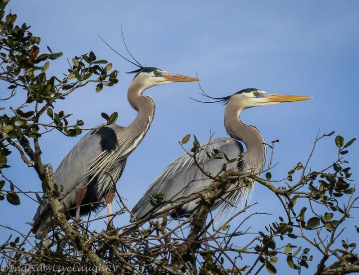 pair of great blue herons