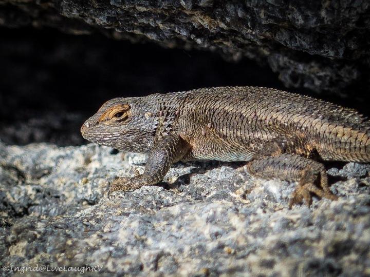 reptile, lizard