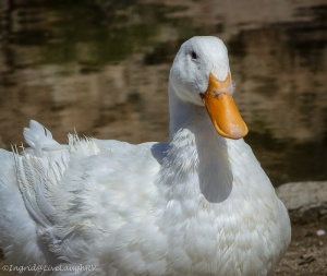 duck, duck, feather