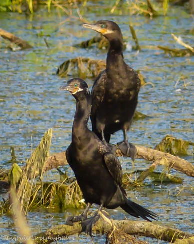 Cormorants