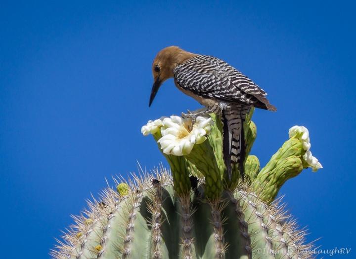 flowering saguaro cactus