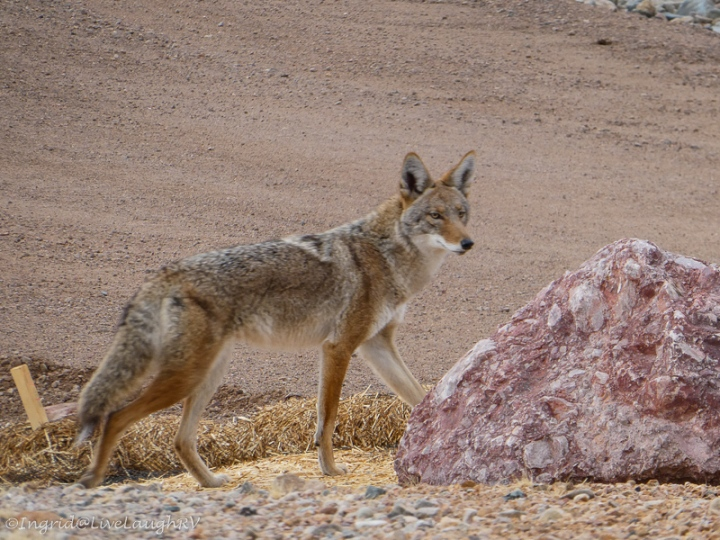 a wild coyote walking through the neighborhood