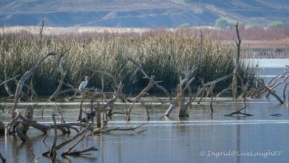 egret Havasu Wildlife Refuge