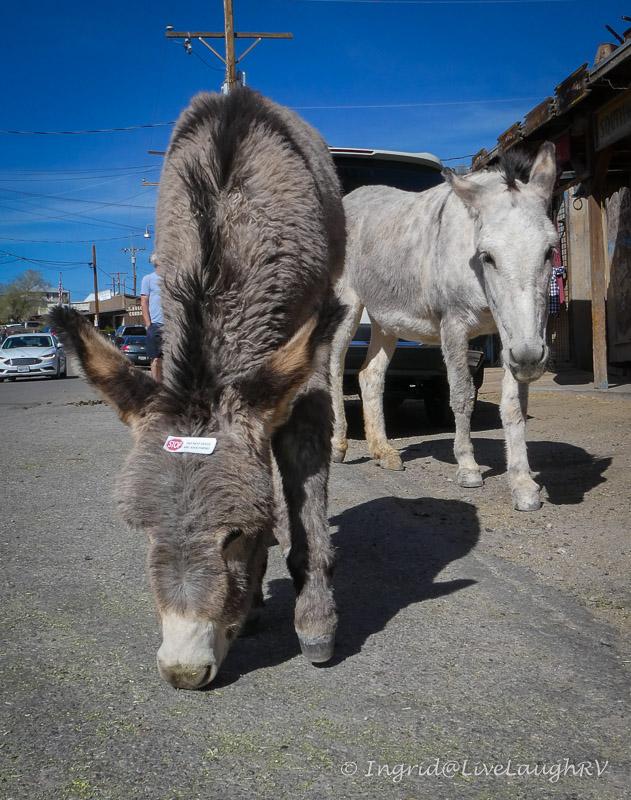 wild burros Oatman AZ