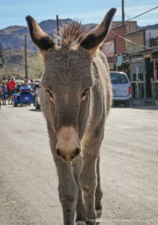 wild burros Oatman, Arizona