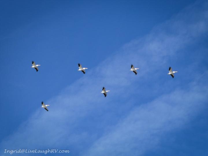 pelicans in the desert