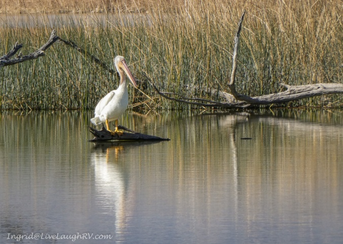 pelicans Havasu Wildlife Refuge