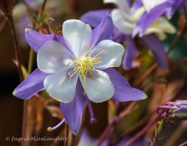 Columbine flower Colorado's state flower