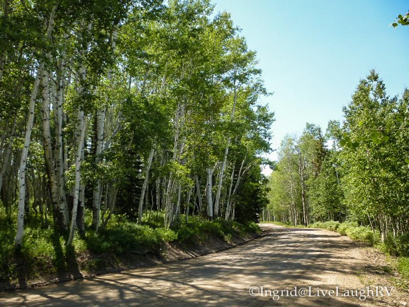 Aspen grove at Keebler Pass Crested Butte, Colorado