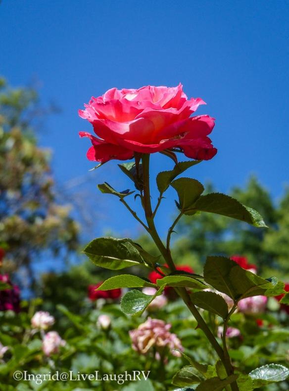 Rose Garden Prescott Arizona Sharlot Hall Museum