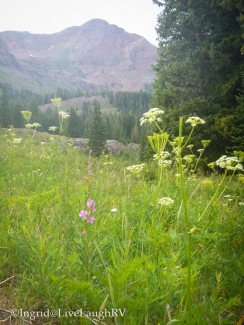 wildflowers in Crested Butte Colorado