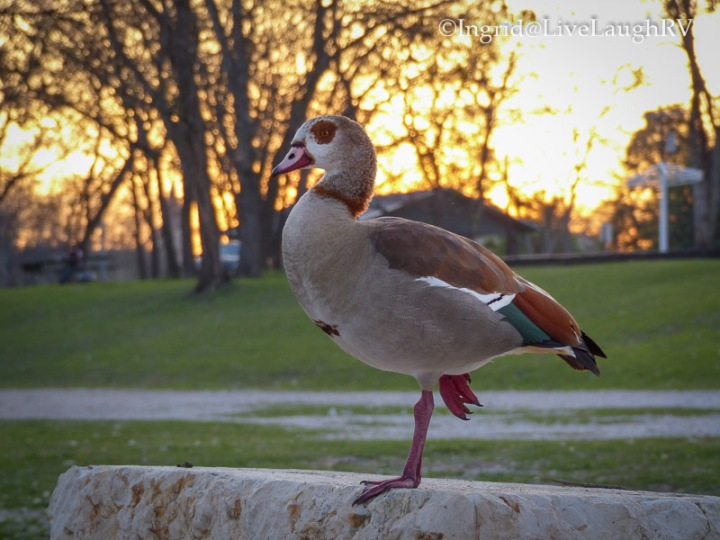 Egyptian Goose at sunset