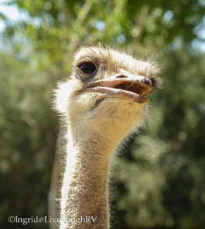 ostrich Wildlife World Zoo Phoenix Arizona