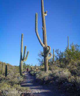 saguaro cactus and a cyclist show how tall the cacti grow