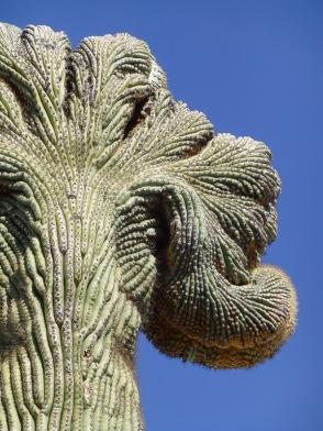 crested saguaro cactus