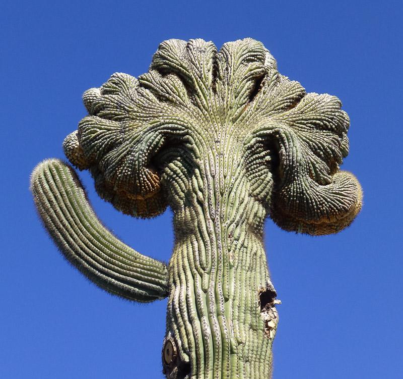 crested_saguaro.jpg