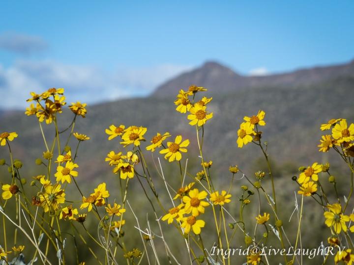 wildflowers in Arizona, summertime, spring flowers