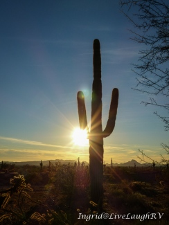 saguaro cactus at sunset Phoenix Arizona