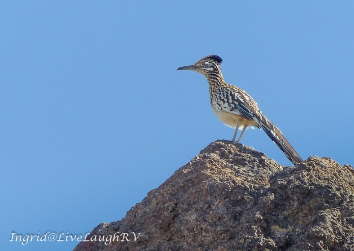 a road runner on a boulder in Arizona