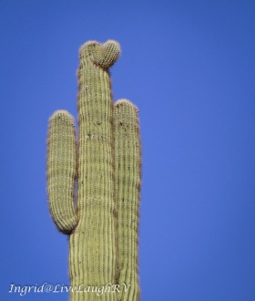 saguaro cactus growing to look like a proud soldier