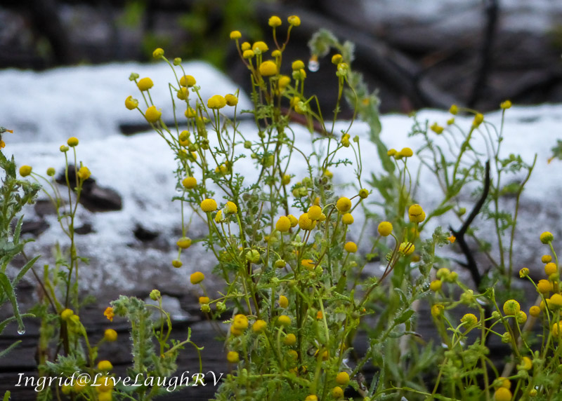 yellow wildflowers against a dusting of snow in Phoenix, Arizona