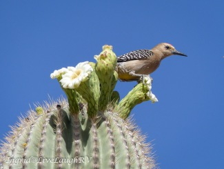 an image of saguaro cactus bloom with a cactus wren resting on top