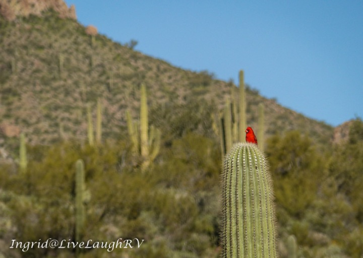 a red cardinal sitting on a cactus in Cave Creek, Arizona