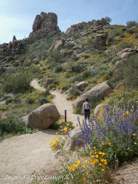 a hiker and wildflowers at Pinnacle Peak Park in Scottsdale, AZ
