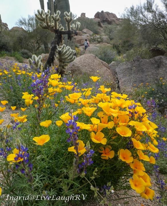 Scottsdale wildflowers