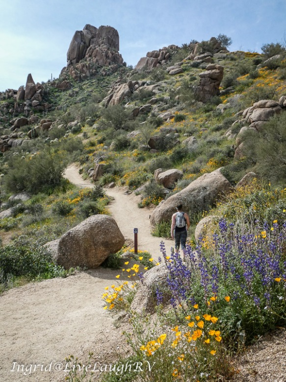 Hiker on the trail at Pinnacle Peak Park in Scottsdale AZ with wildflowers lining the trail