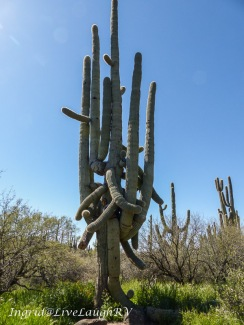 One of Arizona's oldest living saguaro cactus
