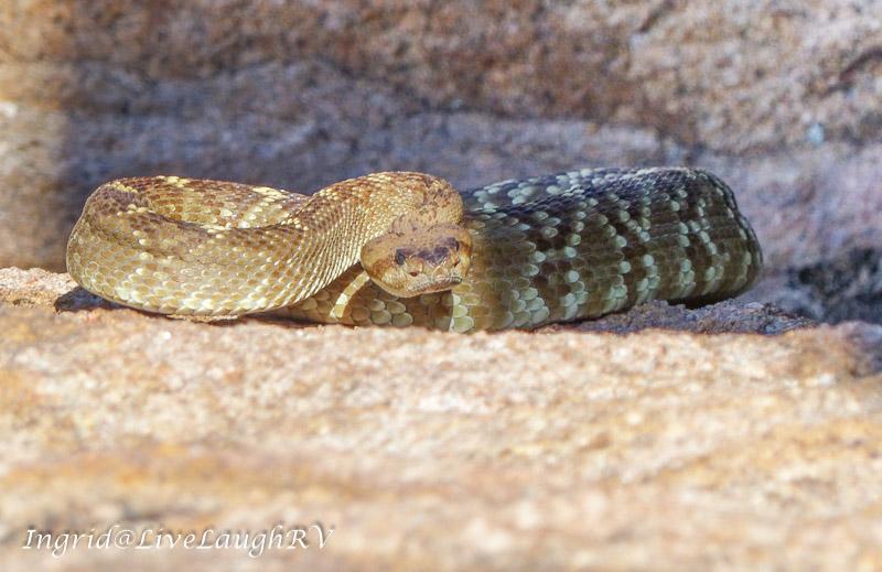 Diamondback rattlesnake sunning itself on a rock