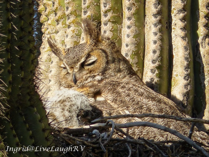 Great horned owl nesting in a saguaro cactus with an owlet