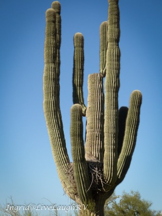 an horned owl nesting in a saguaro cactus in Phoenix Arizona