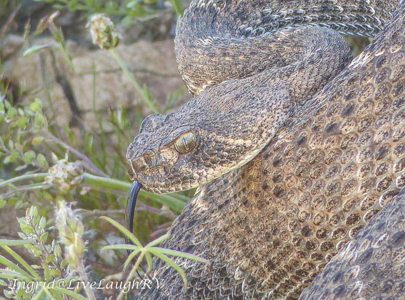 A close up a diamondback rattlesnake with tongue hanging out