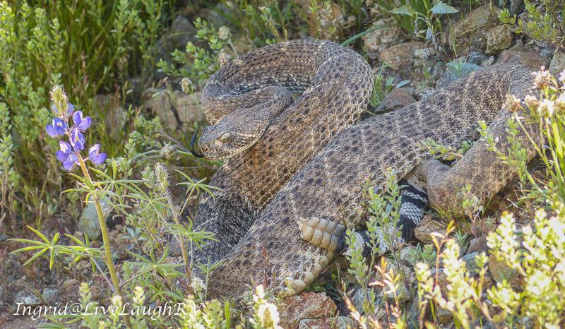 Phoenix diamondback rattlesnake coiled in grass