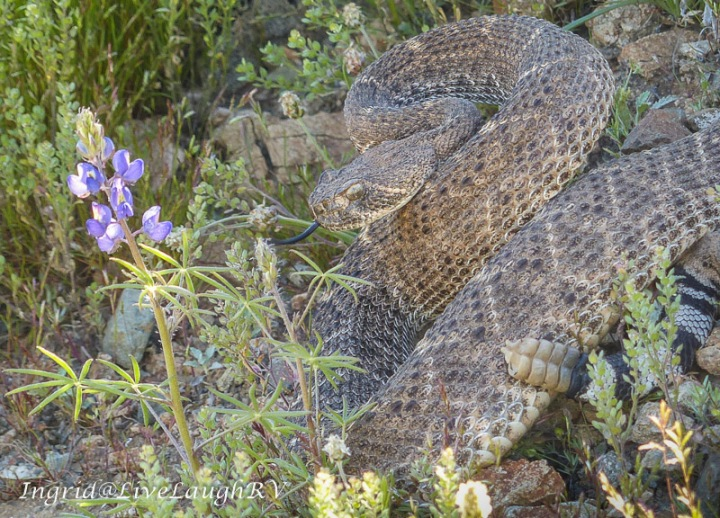 diamondback rattlesnake in Phoenix, Arizona seen while hiking