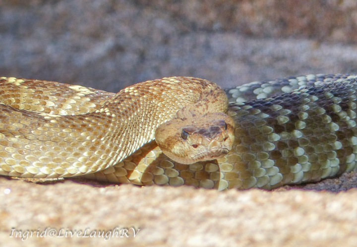 What to do when you encounter a rattlesnake, diamondback, hiking in Phoenix, Arizona snakes