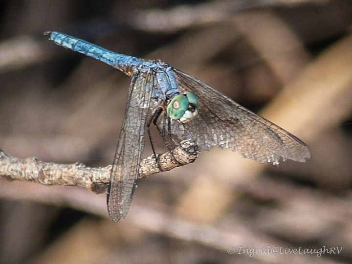 Dragonfly #dragonflies