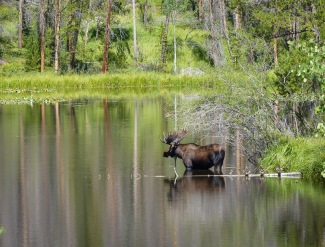 moose sighting, where to find moose, a moose in a pond, #moosesighting, #lovemoose