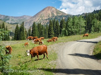 obstacles in the backcountry near Crested Butte, Colorado, cows blocking road #cows on the road