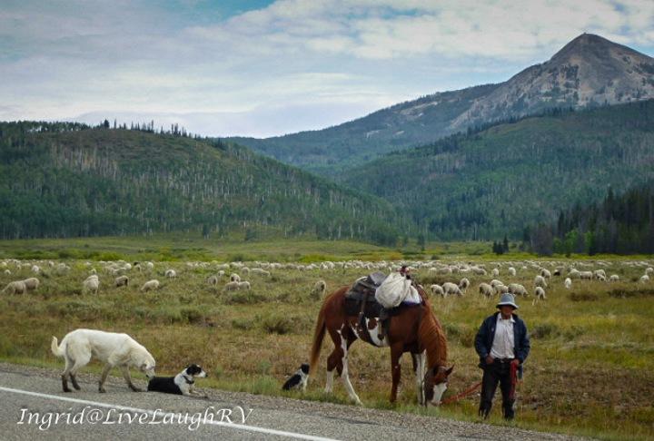 Shepard, sheep herder, herding sheep in Colorado