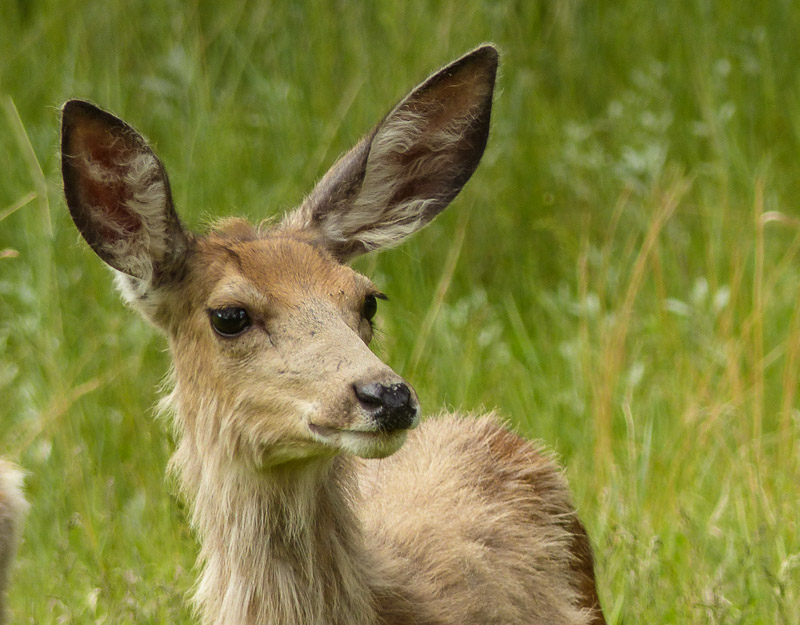 close up of a young deer