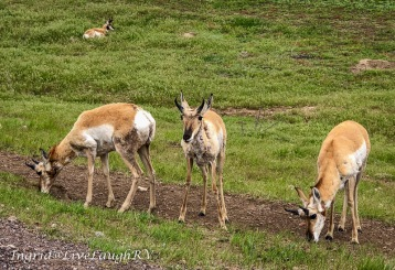 The Antelope are abundant. (pronghorn is the proper name)