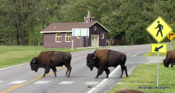 Buffalo crossing the street at a crosswalk