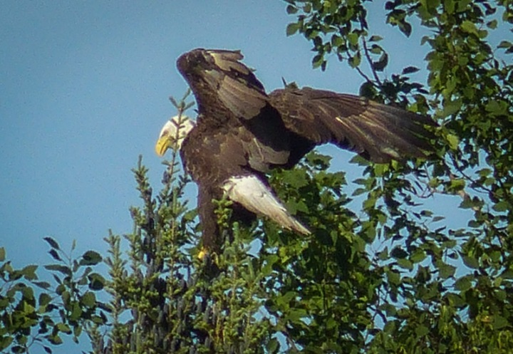 bald eagle in a tree with wings spread