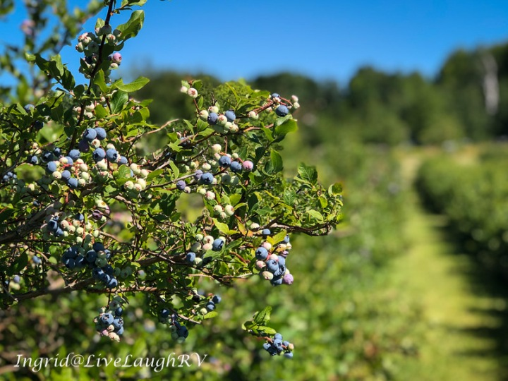 Blueberries on a blueberry bush