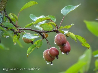 crabapple with droplets of water