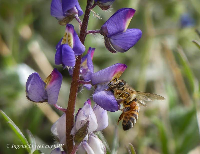 bee on purple lupine wildflower