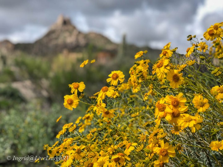 Golden brittle-bush in the foreground Pinnacle Peak in Scottsdale AZ in the background